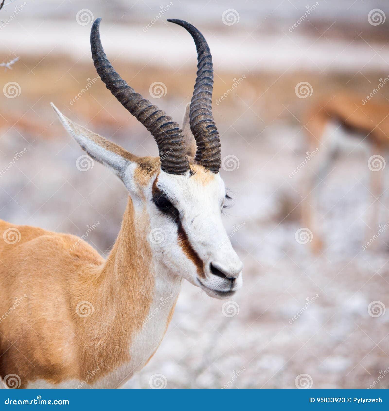 Retrato masculino da impala, animais selvagens africanos no parque nacional de Etosha, Namíbia, África