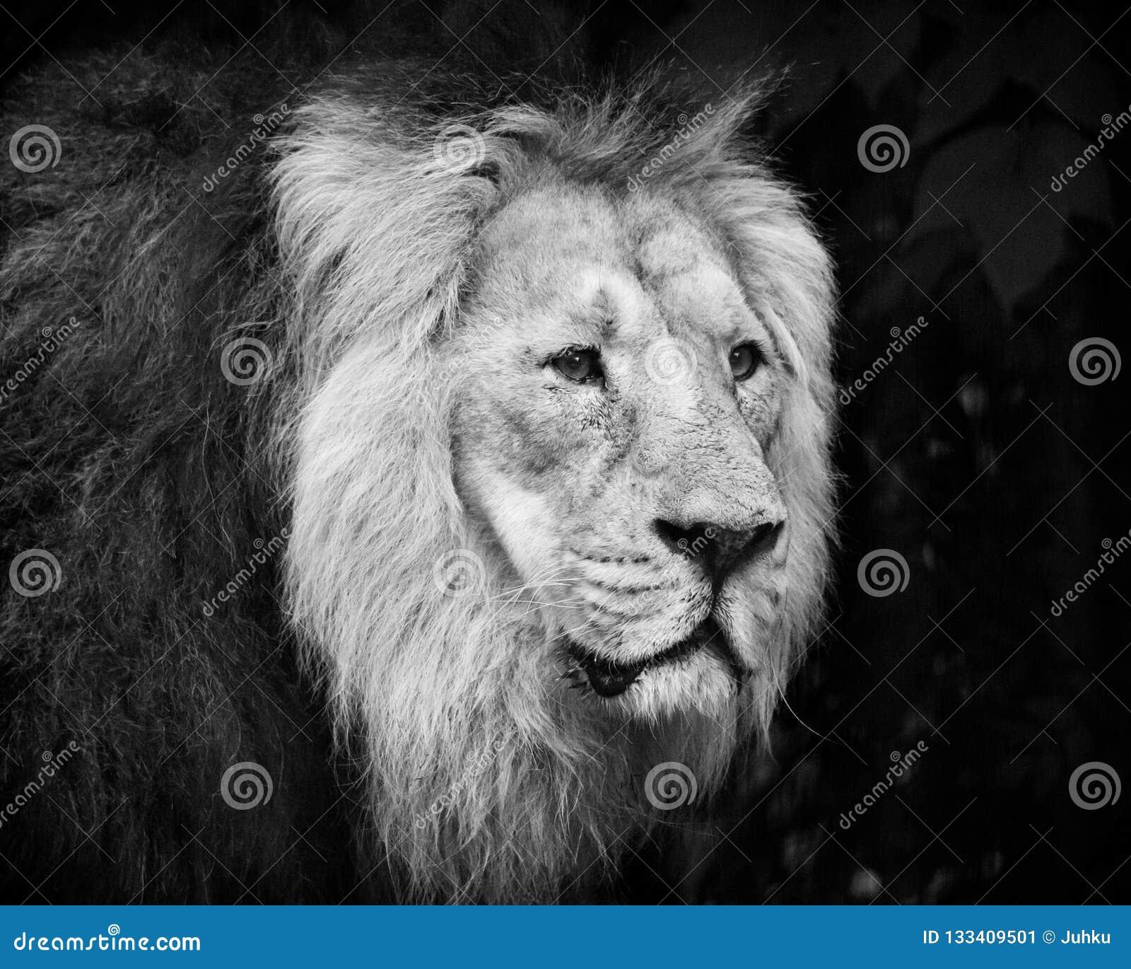 Retrato masculino del león blanco y negro