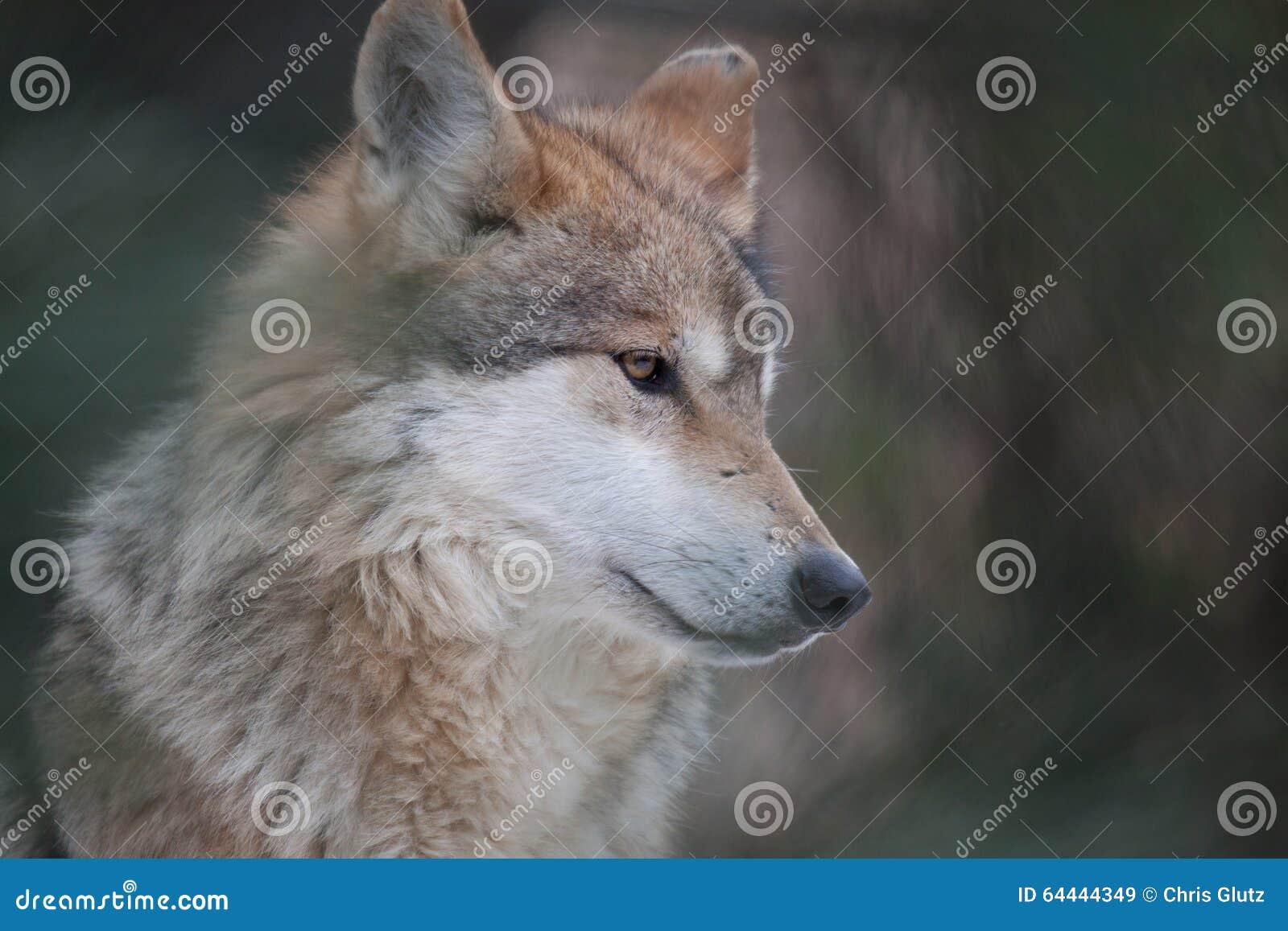 Retrato mexicano del lobo imagen de archivo. Imagen de enmarcado ...