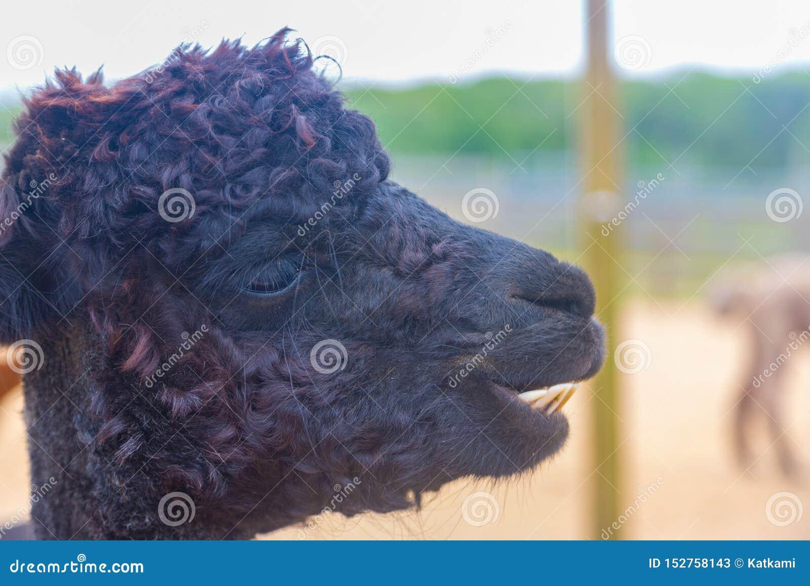 Retrato negro de la alpaca con los dientes de dólar