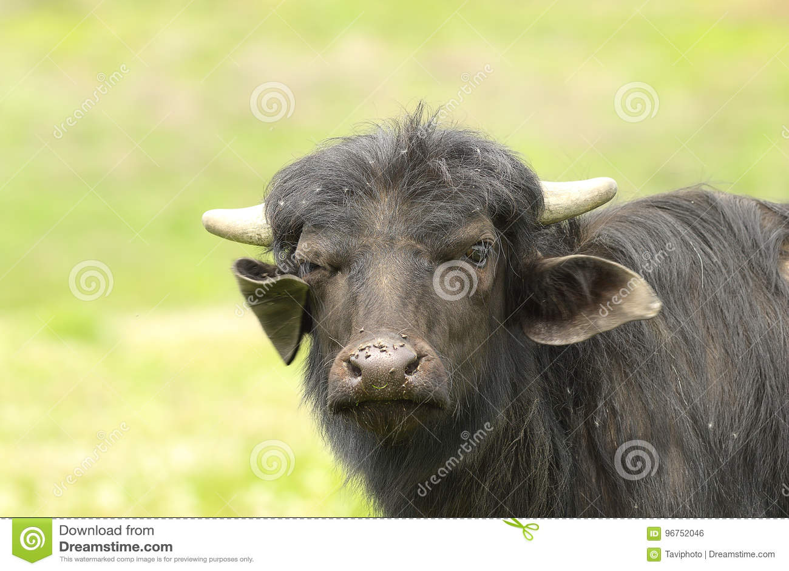 Retrato negro nacional juvenil del toro