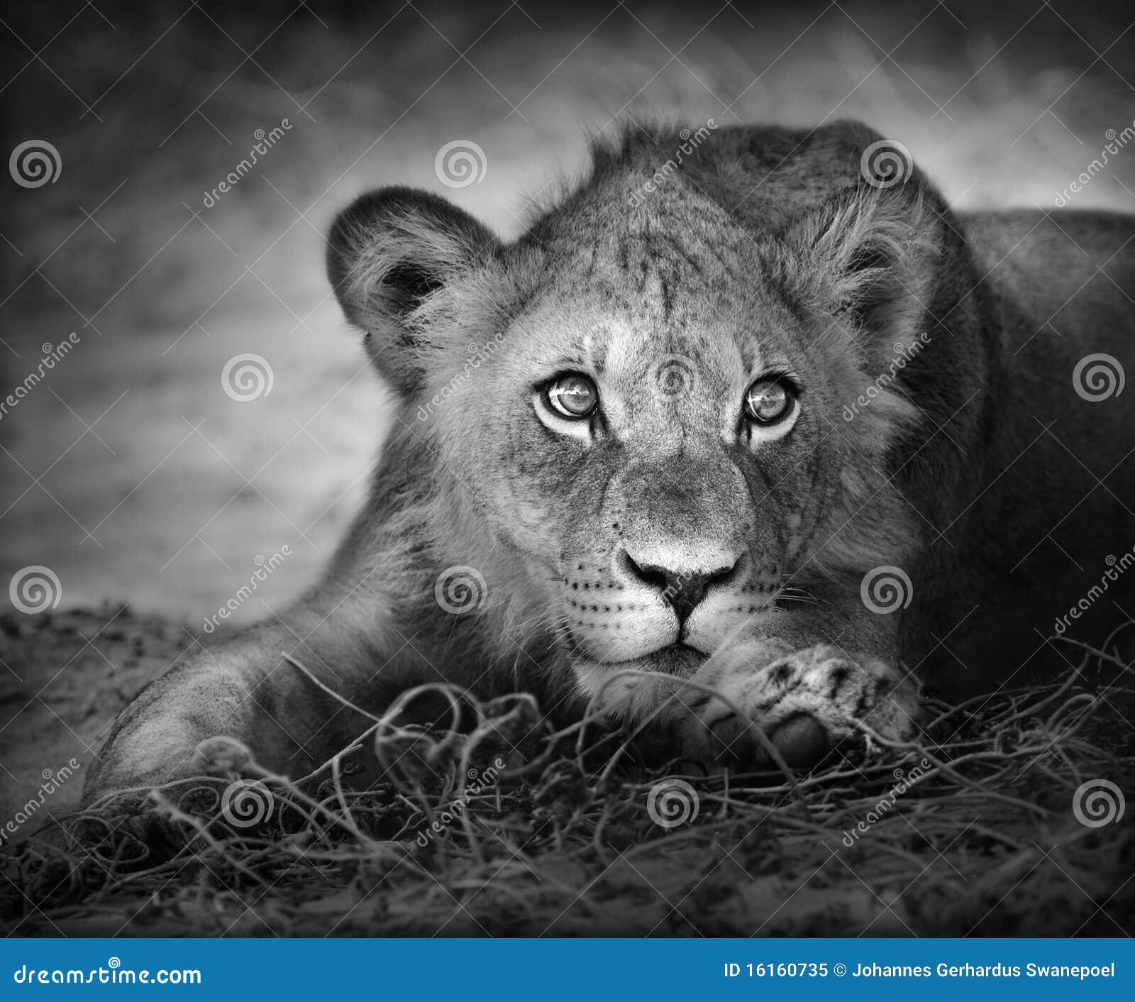 Retrato novo do leão