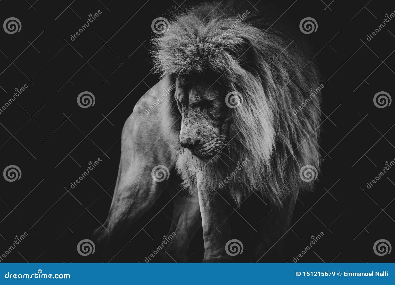 Retrato oscuro blanco y negro de un león africano