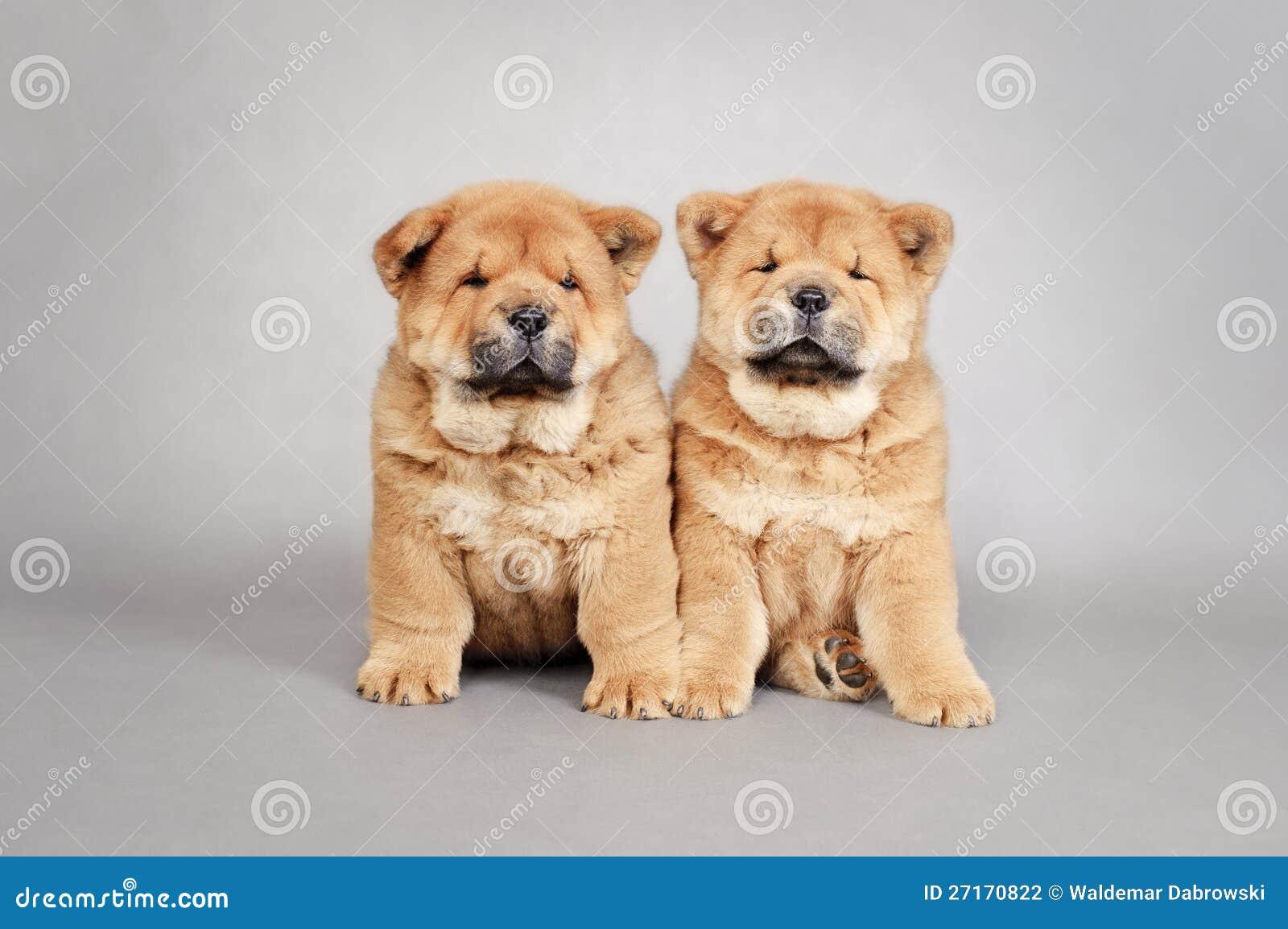 Retrato pequeno de dois filhotes de cachorro da comida da comida