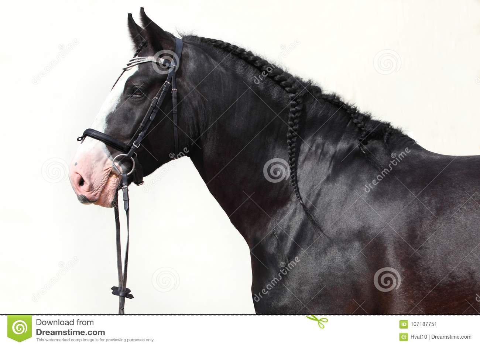 Retrato pesado del caballo de proyecto del condado negro