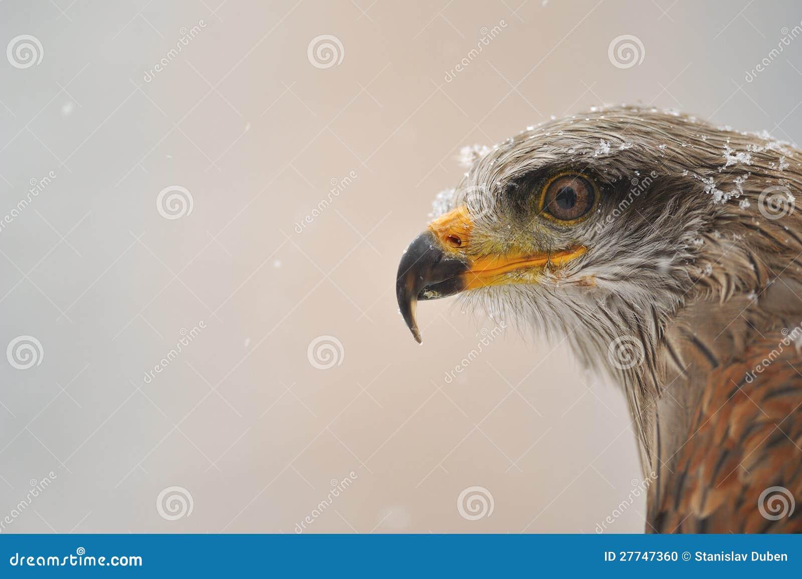 Retrato preto do papagaio