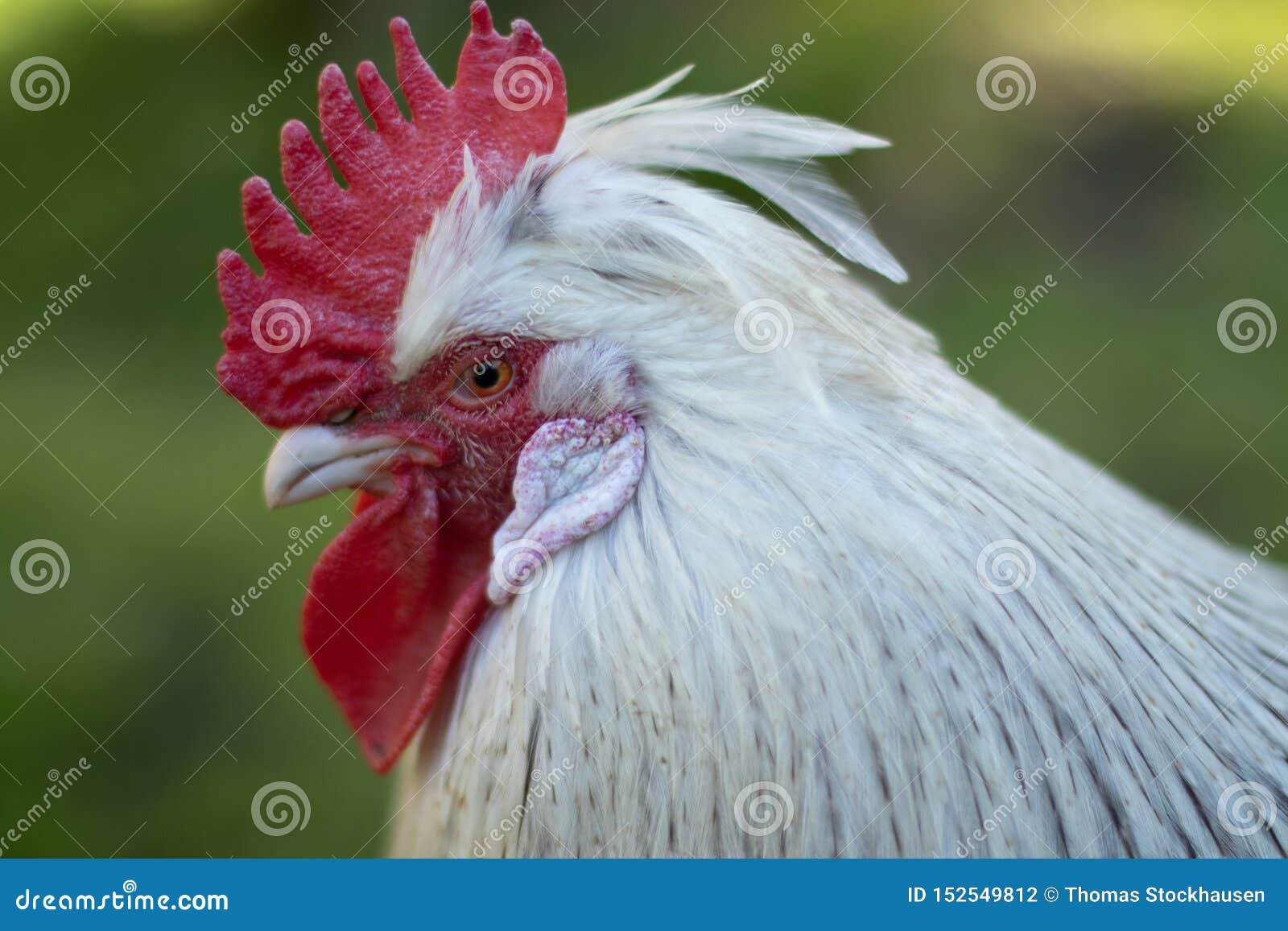 Retrato principal del gallo, cresta de gallo roja