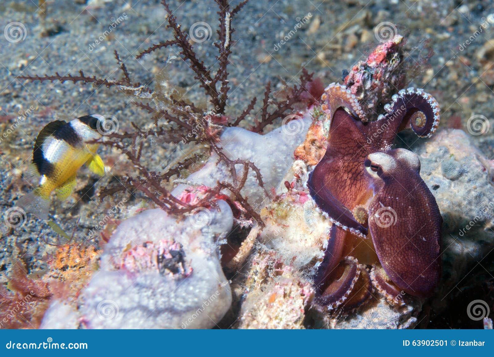 Retrato subaquático do polvo do coco fora do ninho