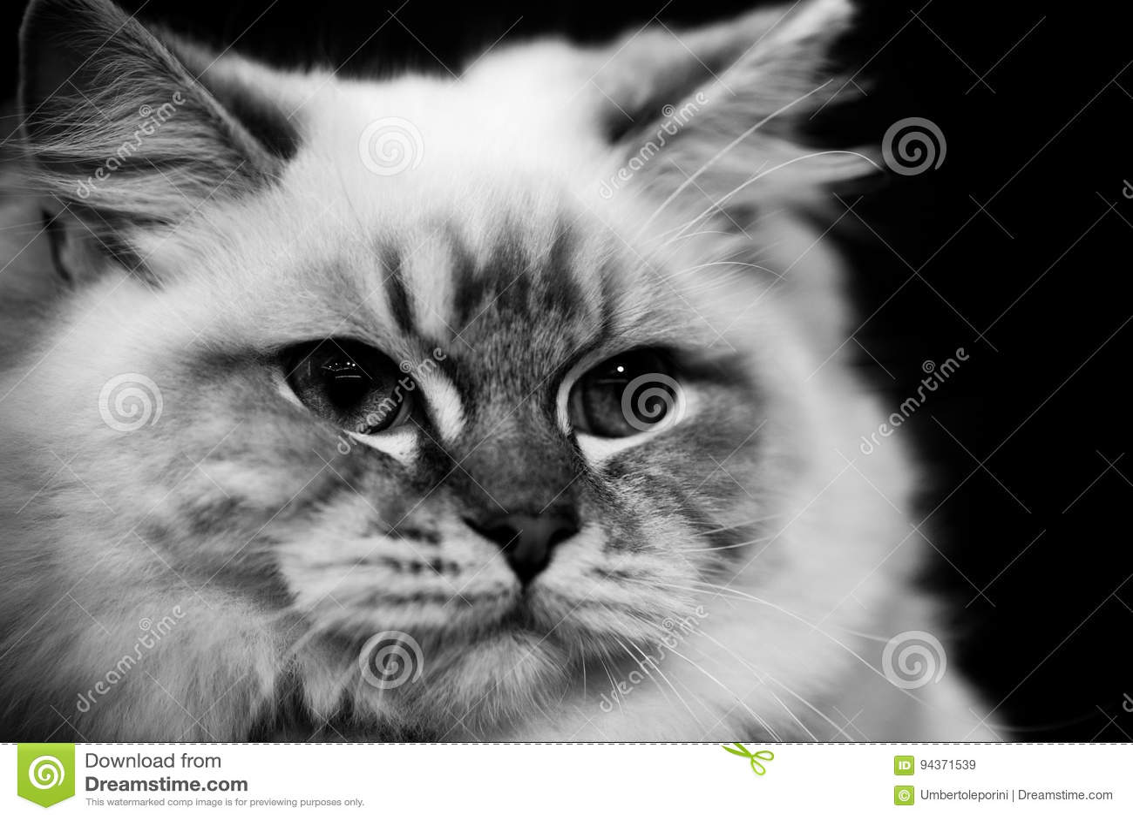Retratos preto e branco bonitos dos animais do gato burmese