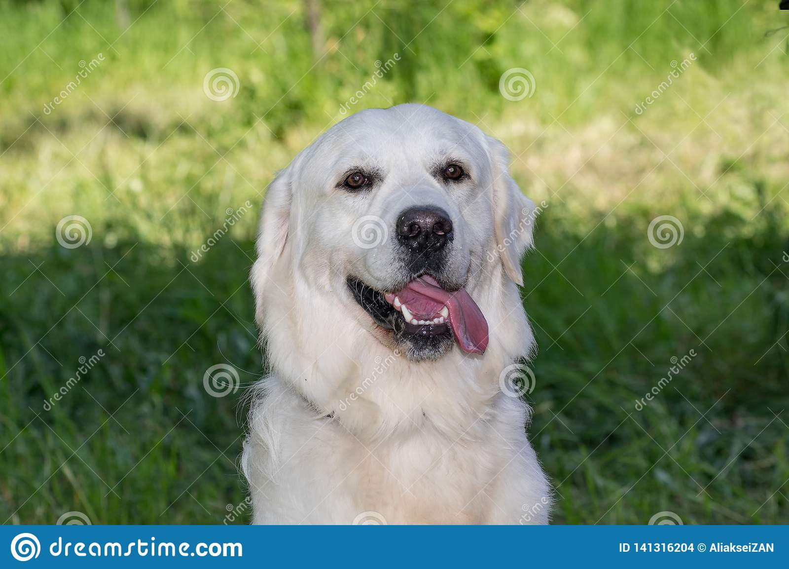 Retriever του Λαμπραντόρ το άσπρο σκυλί, πορτρέτο, κάθεται στο υπόβαθρο χλόης