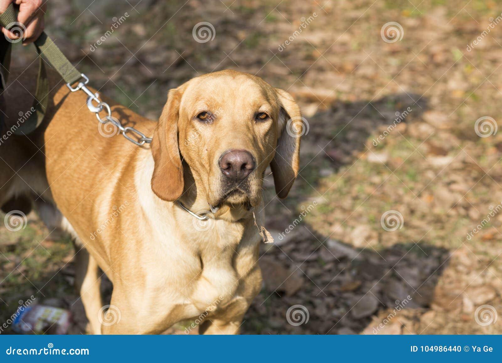 Retriever κουταβιών του Λαμπραντόρ σκυλιών ανασκόπησης γκρίζα οπίσθια όψη