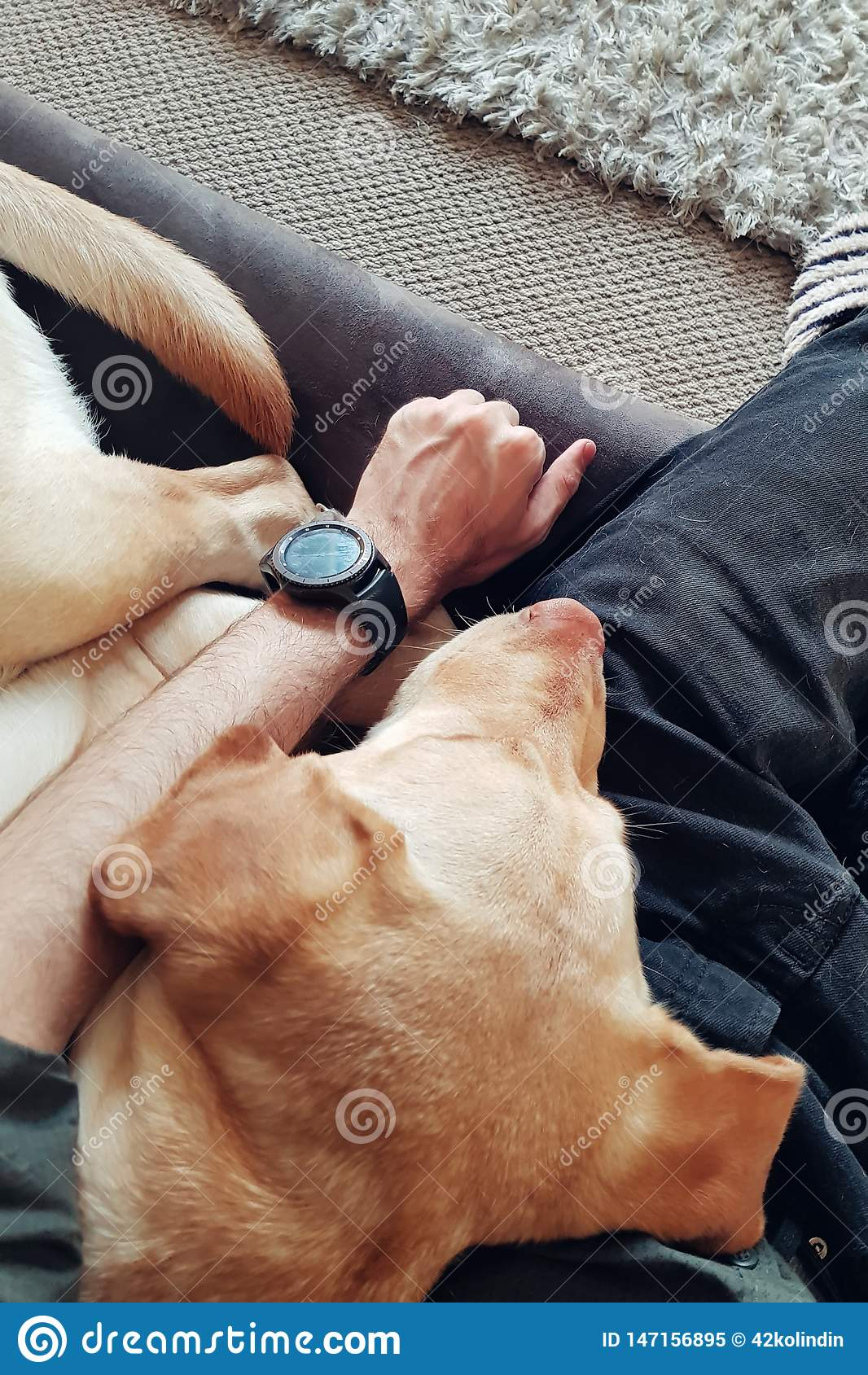 Retriever Лабрадор спит на человеке