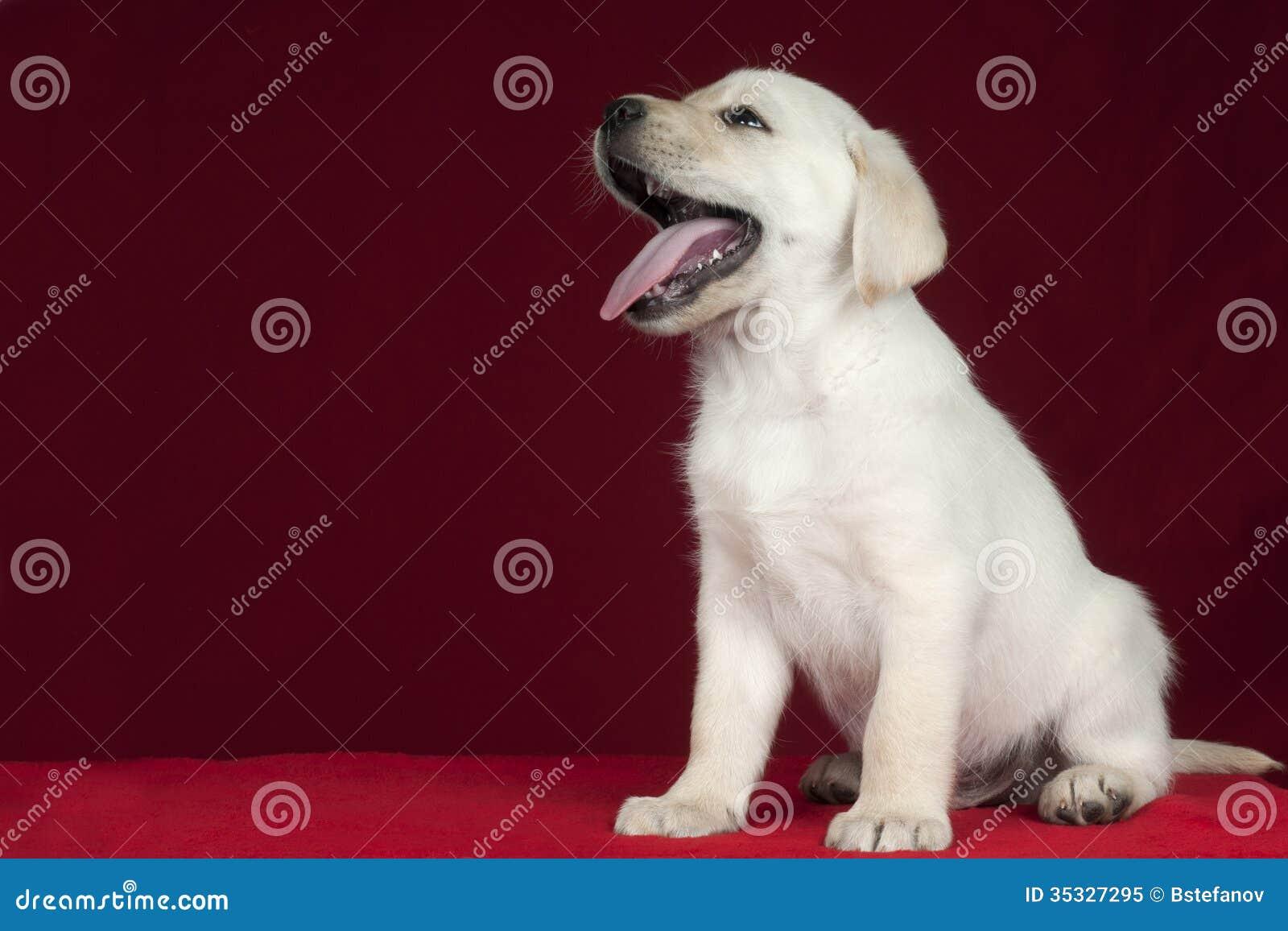 Retriever Лабрадора щенка