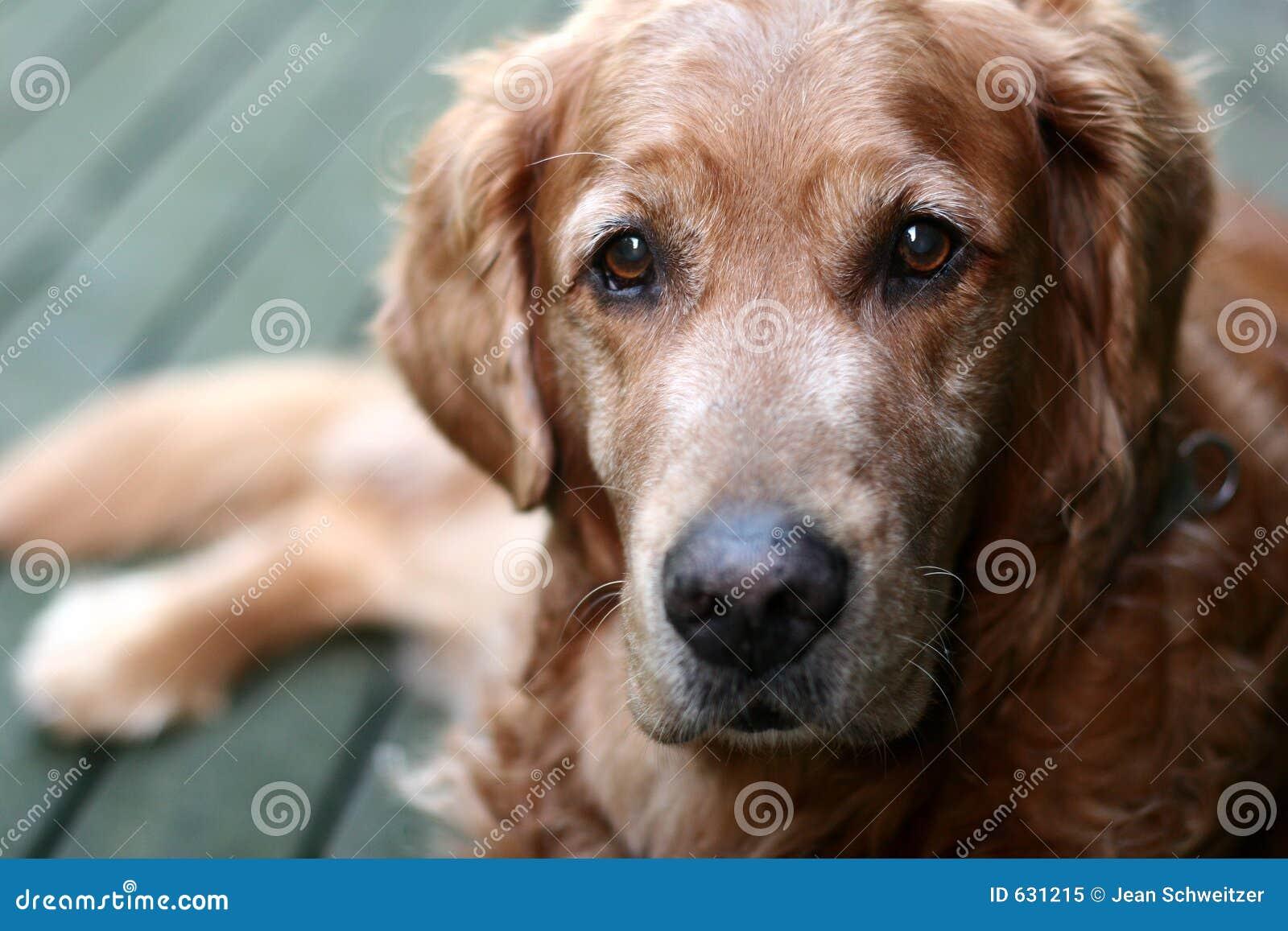 Download Retriever собаки золотистый Стоковое Изображение - изображение насчитывающей остальные, ангстрома: 631215