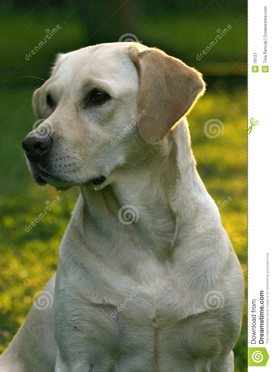 Retriever labrador собаки