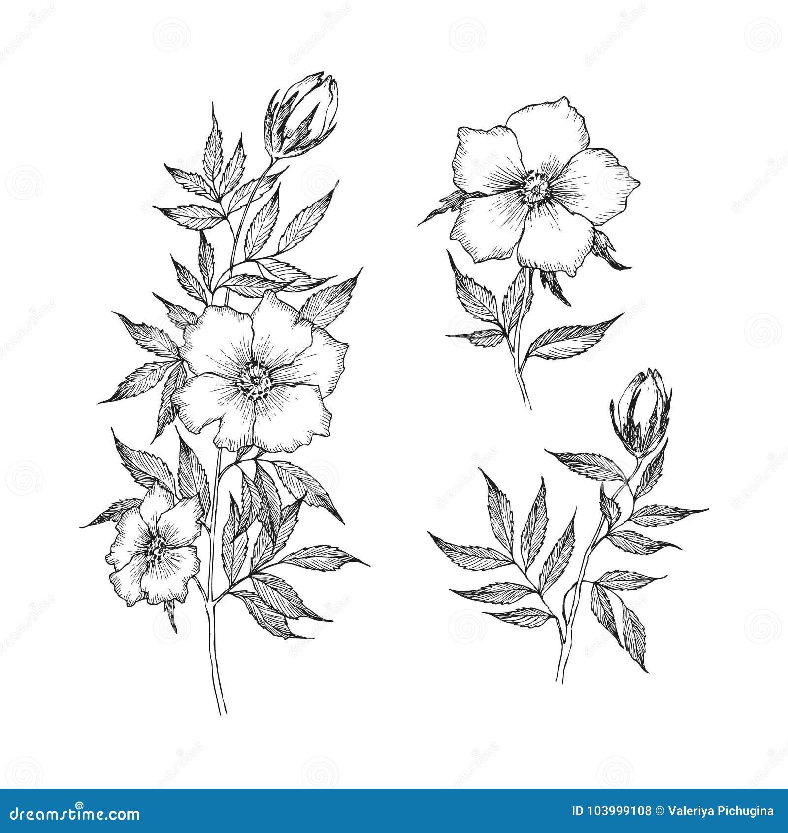 Vintage Botanical Illustration Flower. Flower Concept