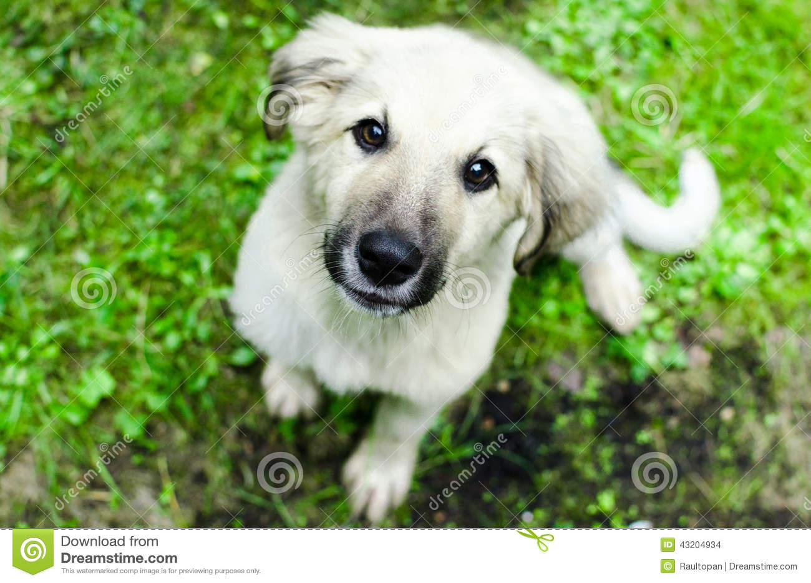 Download Retro stående arkivfoto. Bild av hund, retriever, valp - 43204934