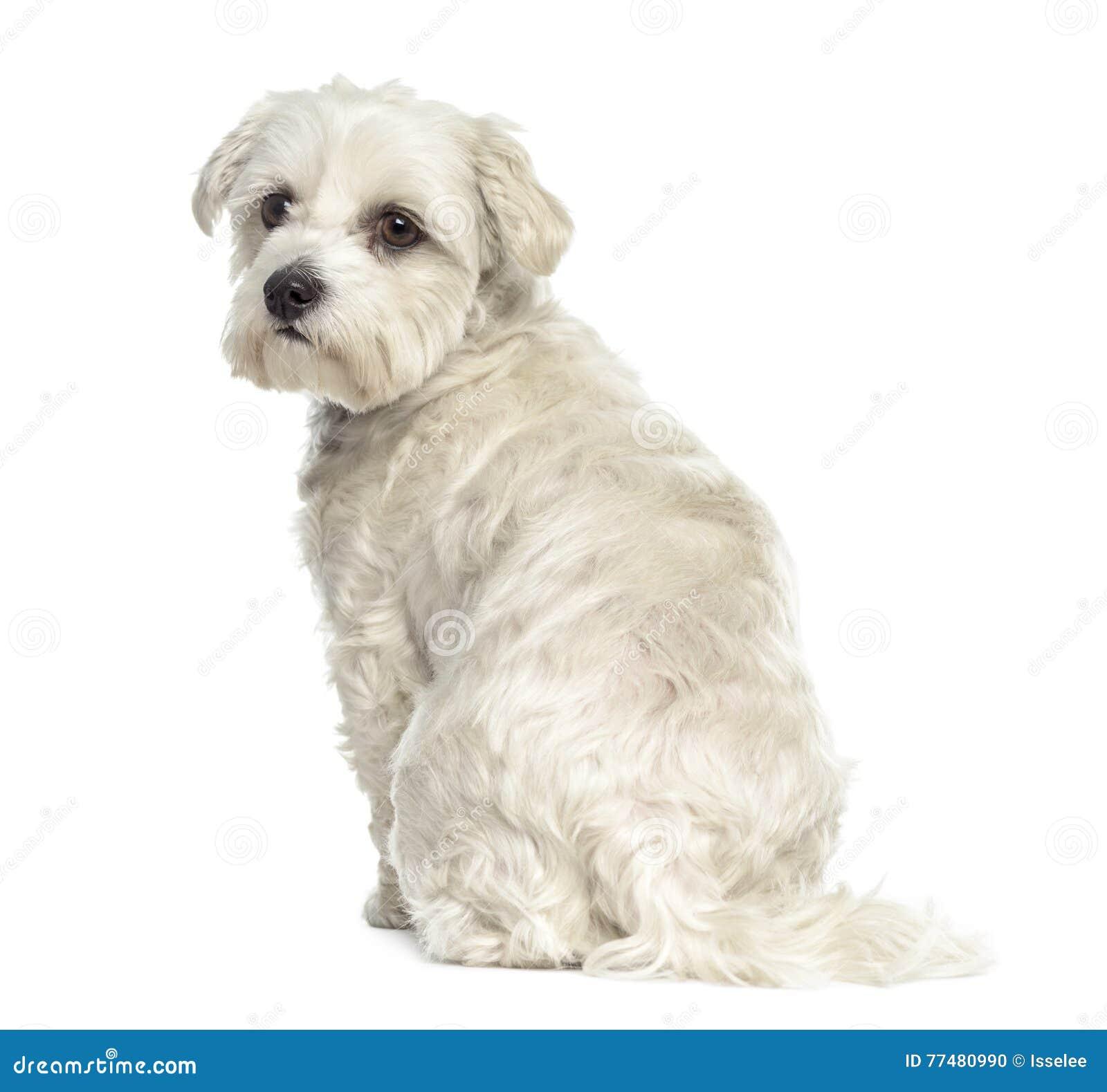 Retrovisione di un cane maltese di Bichon