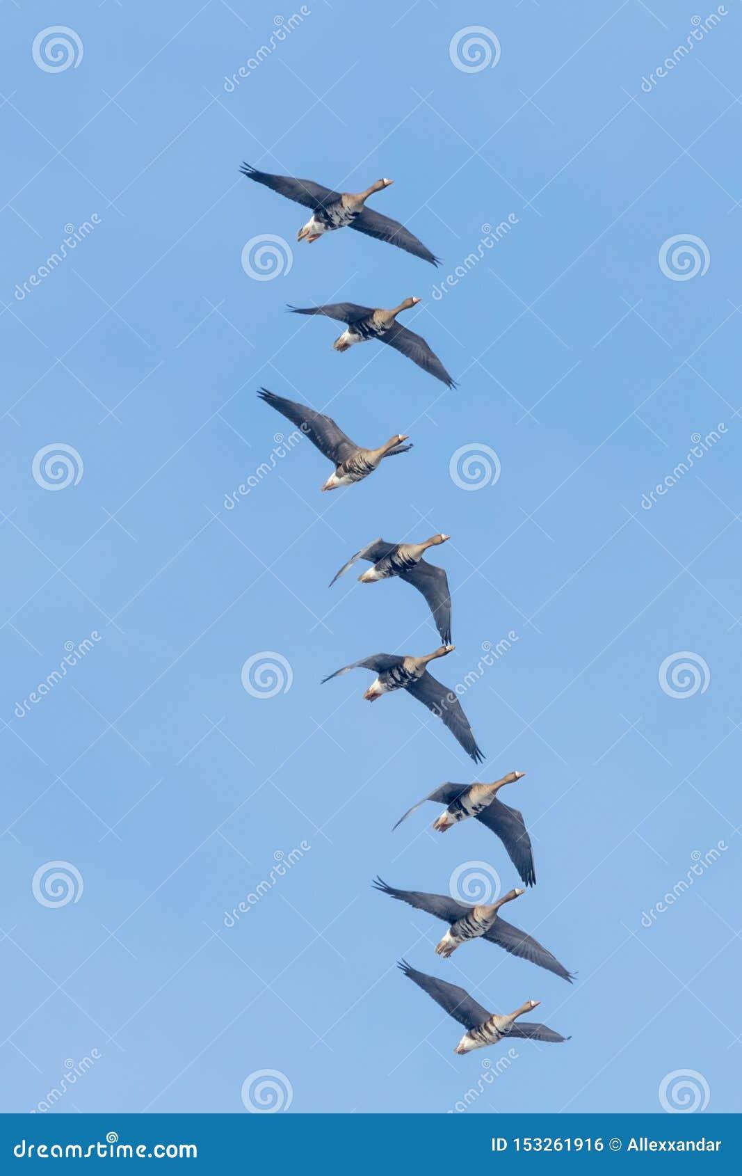 Reuna-se do maior voo fronteado branco dos gansos, c?u azul