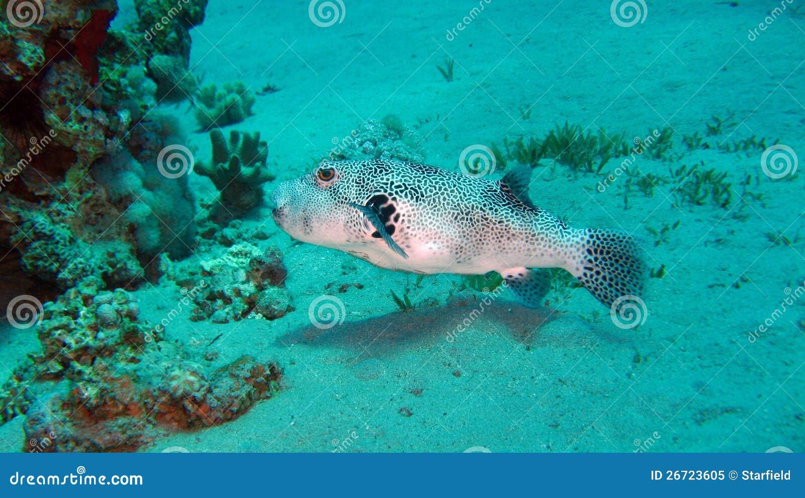 Reus pufferfish of mbu pufferfish stock afbeelding for Mbu puffer fish