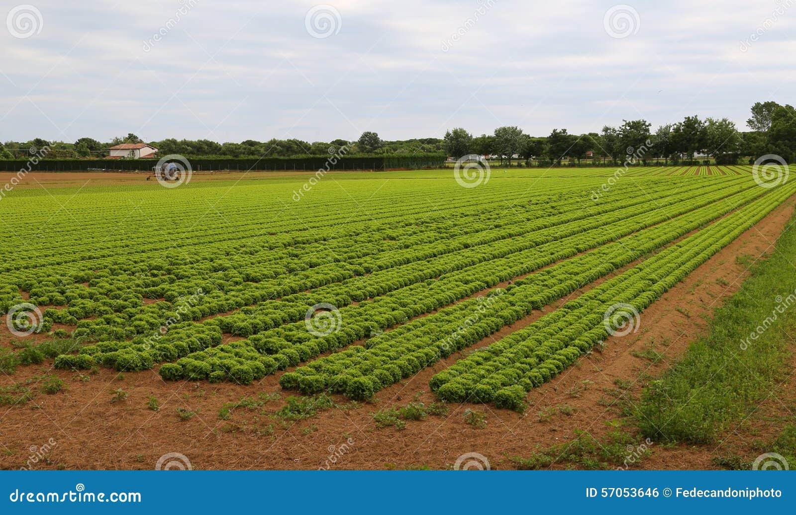 Reusachtig gebied van sla in de vlaktes in de zomer