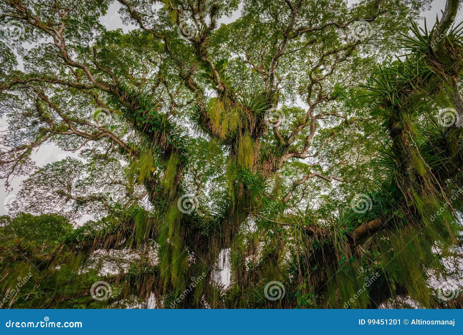 Reusachtige brede tropische bosdieboom van onderaan Caraïbisch Trinidad en Tobago wordt bekeken