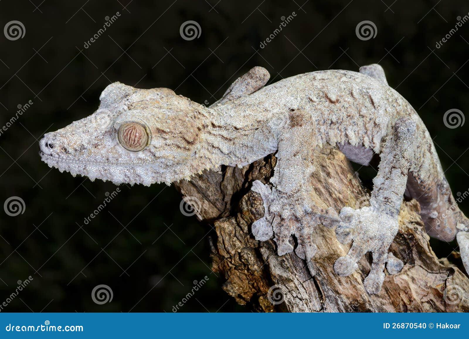 Reuze blad-staart gekko, marozevo