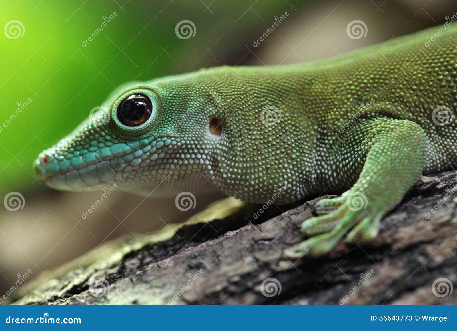 Reuze de daggekko van Koch (Phelsuma-madagascariensiskochi)