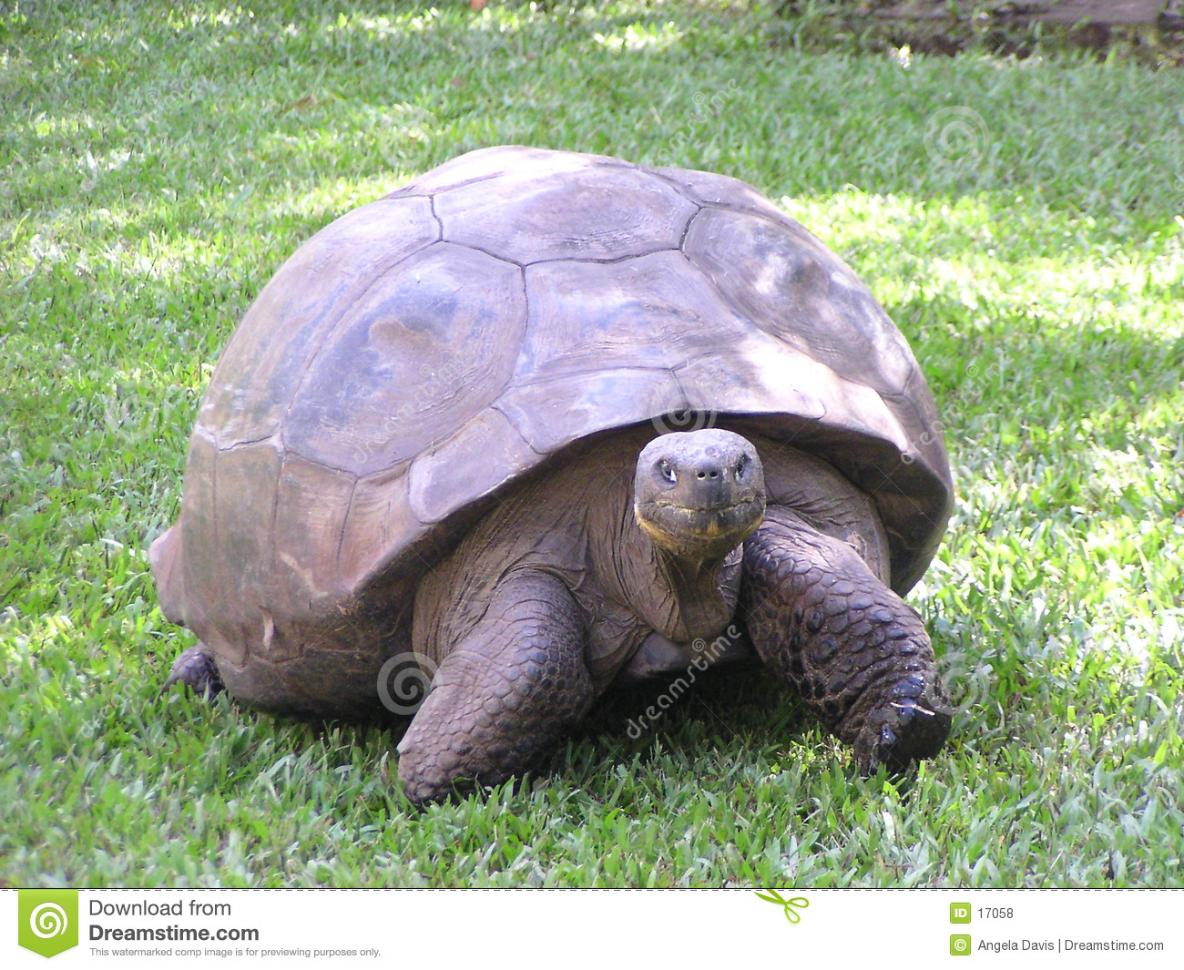 Reuze Land Tortise