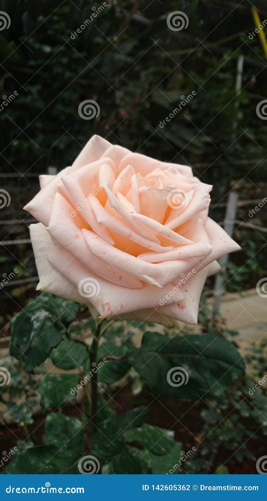 Reuze palish roze nam toe