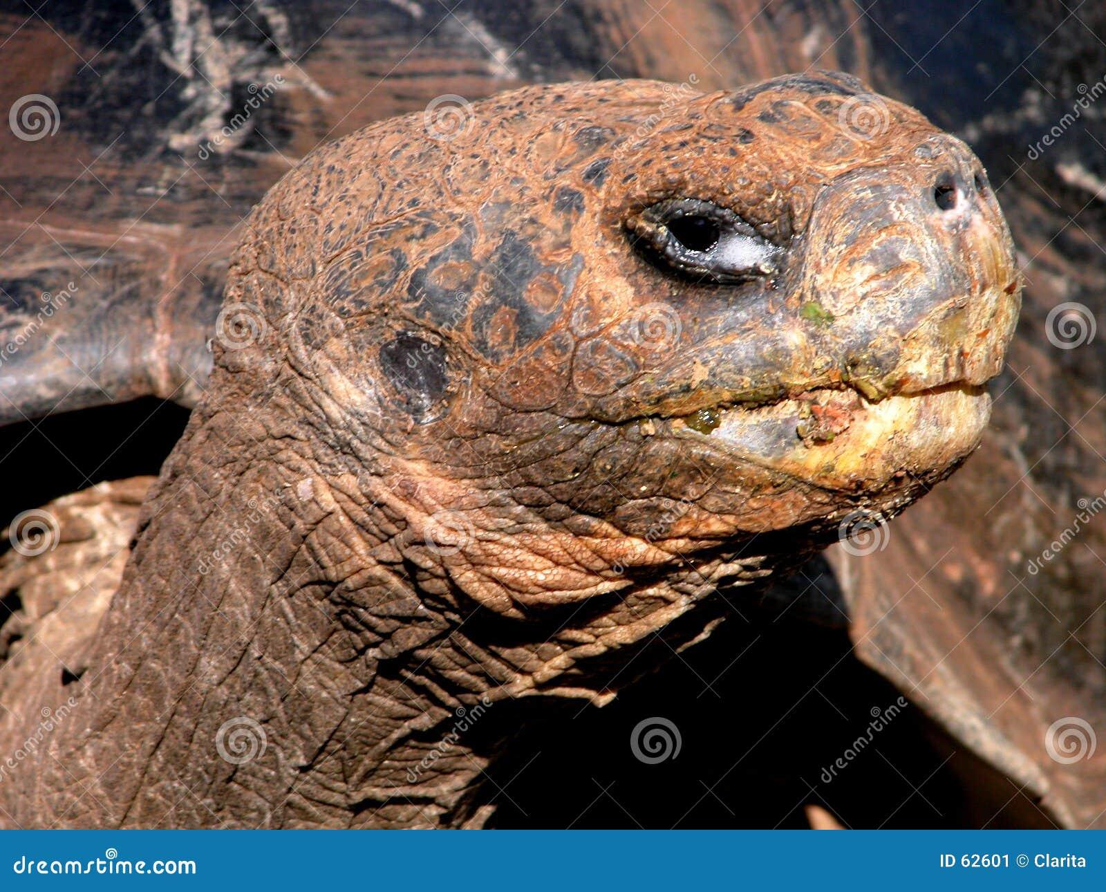 Reuze Schildpad