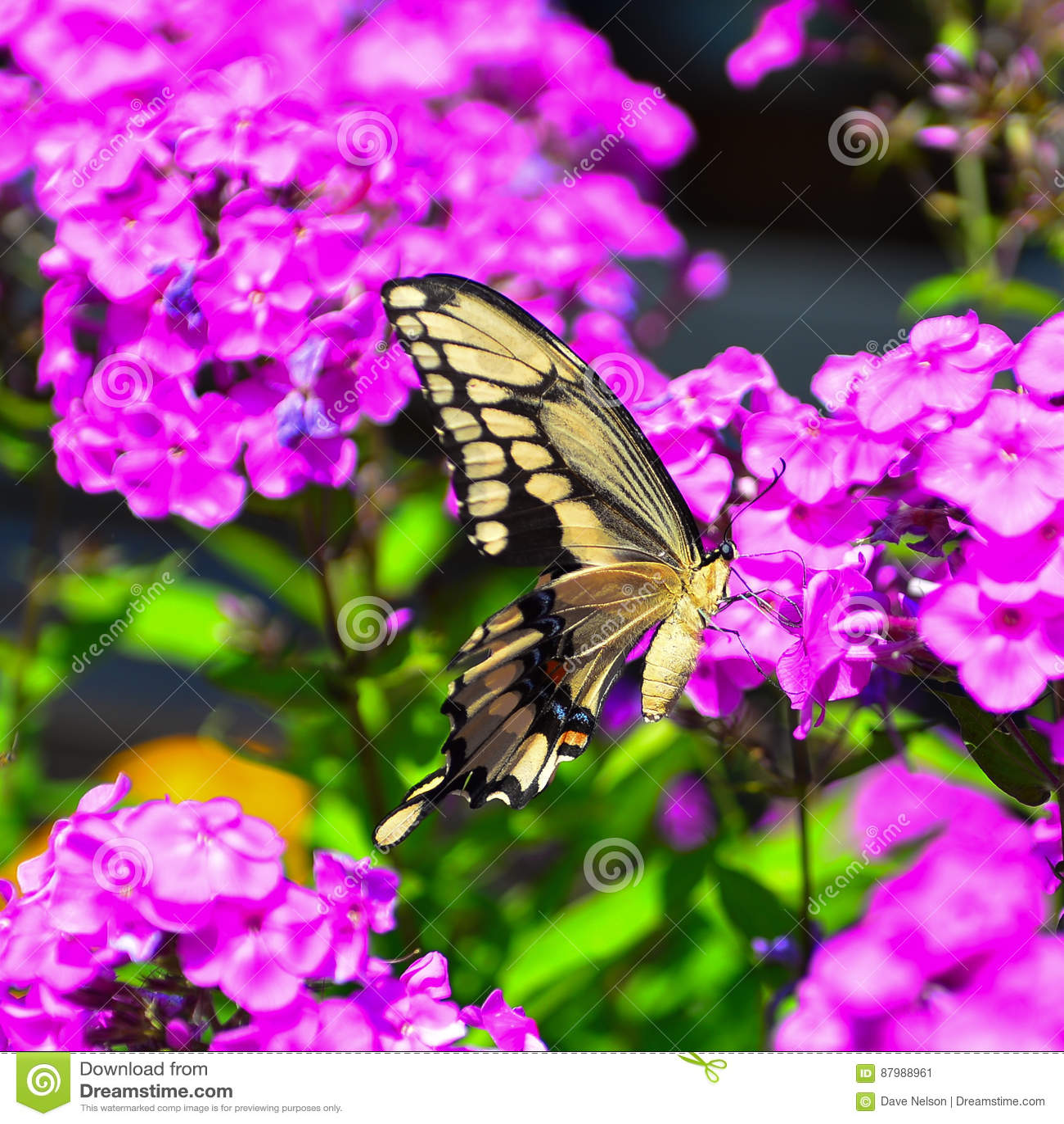 Reuze vlinder Swallowtail