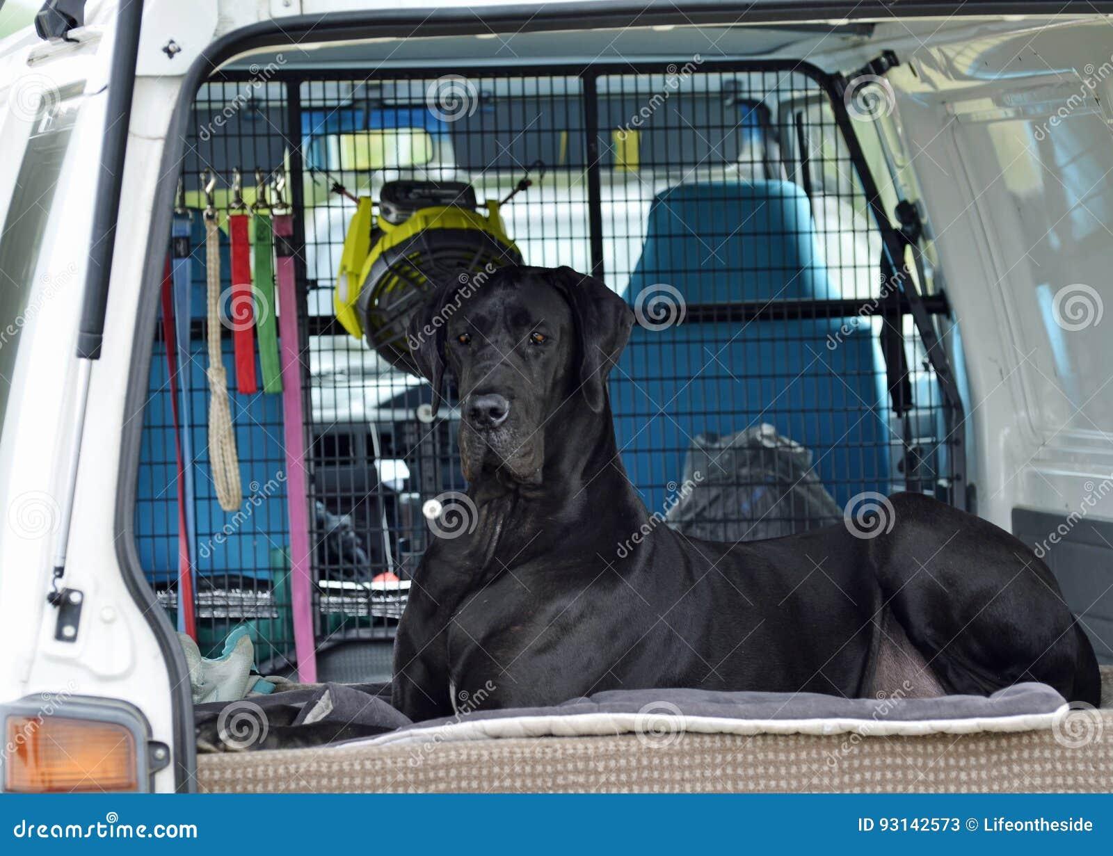 Reuze zwarte Great dane-hondzitting die in auto op eigenaar wachten