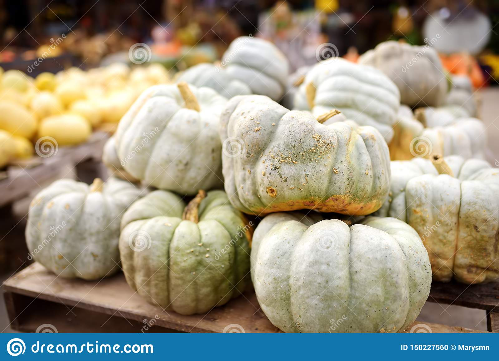 Reuzehoop van verse grote gezonde biopompoenen op landbouwlandbouwbedrijf bij de herfst