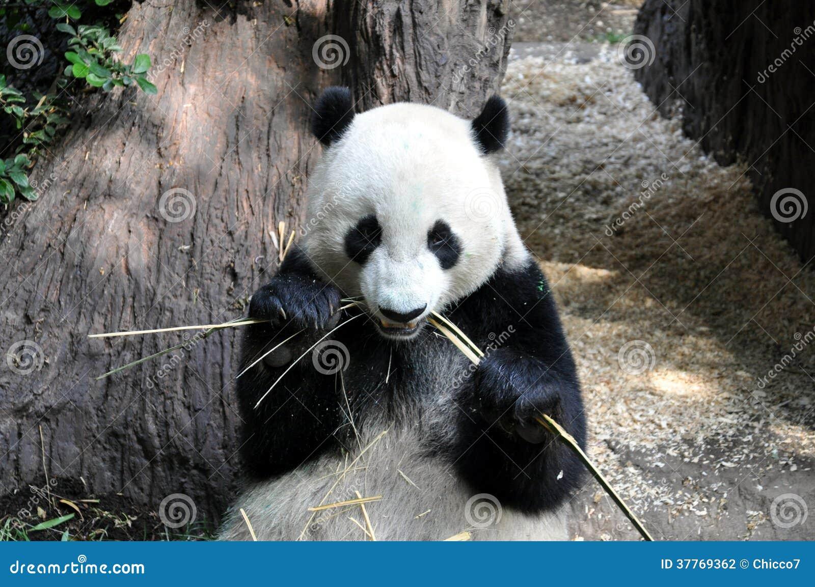 Reuzepanda die lunch hebben bij de dierentuin van San Diego