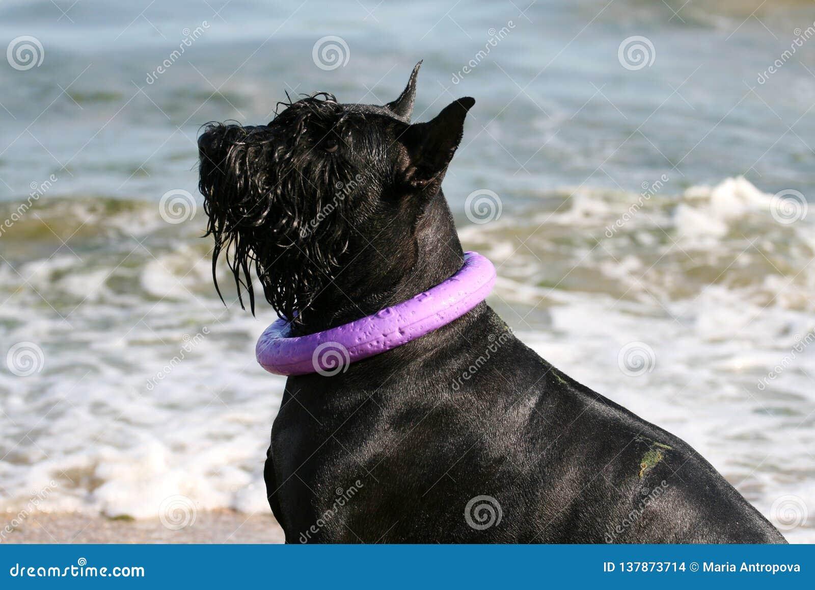 Reuzeschnauzer zit op het strand met een trekker rond zijn hals