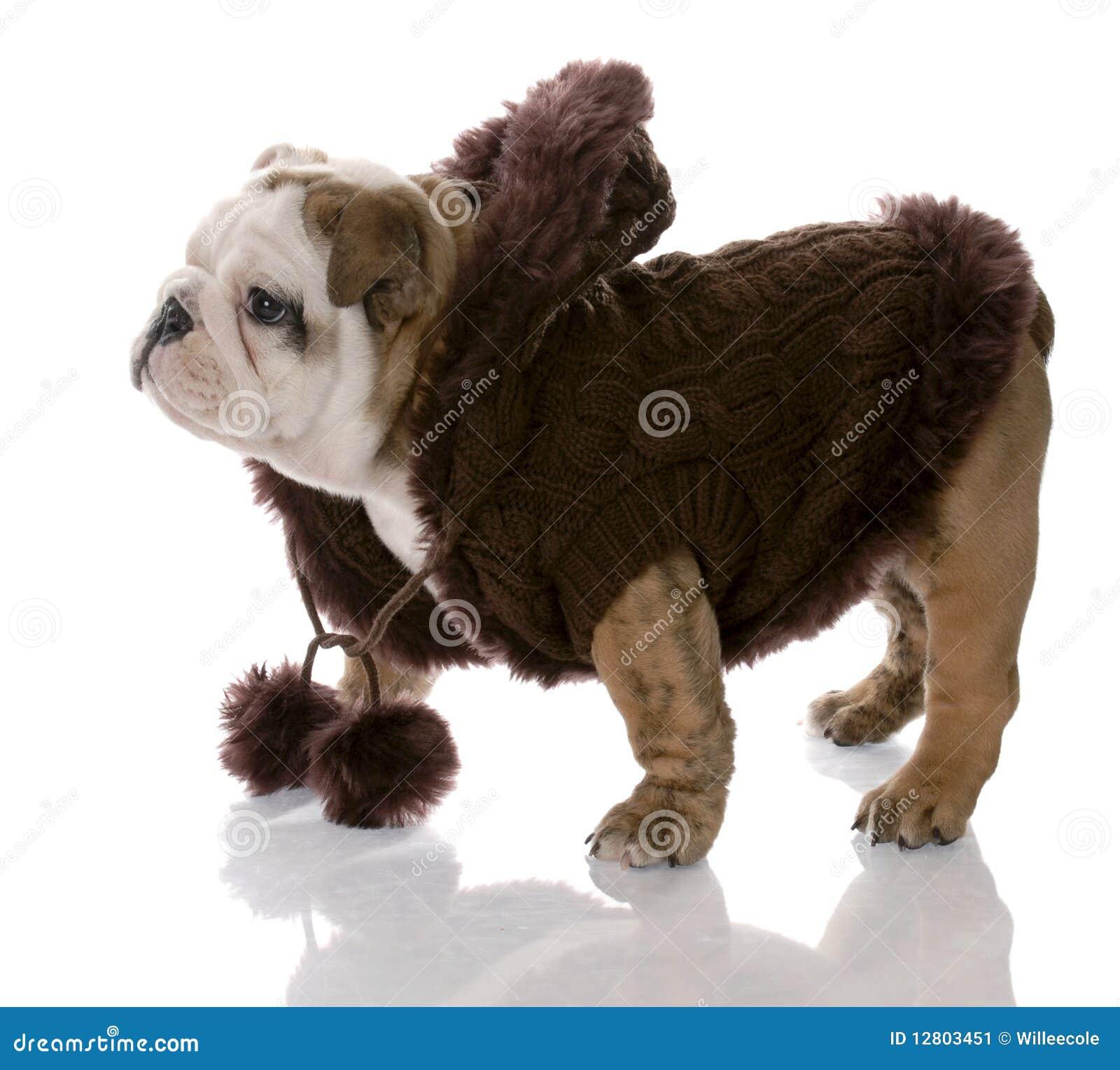 Revestimento desgastando do cão do filhote de cachorro