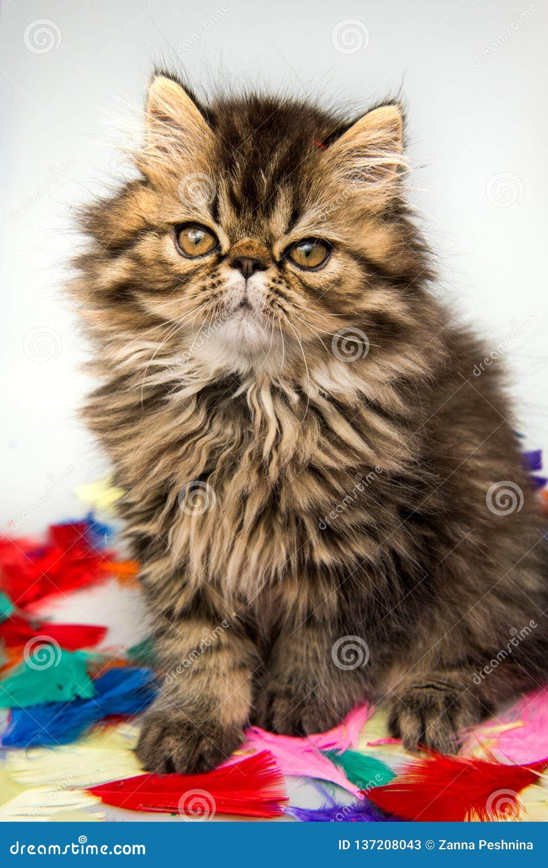 Revestimento persa bonito da cor do mármore do gato do gatinho no fundo branco