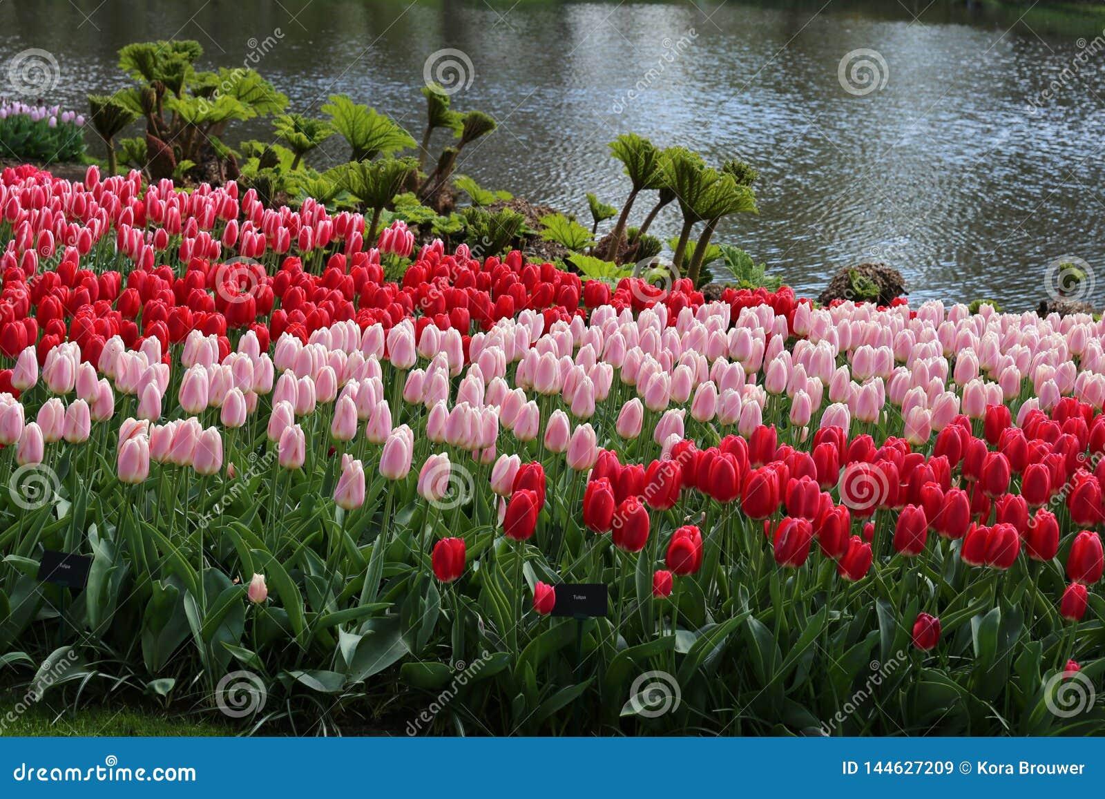Rewolucjonistki en różani tulipany w Keukenhof