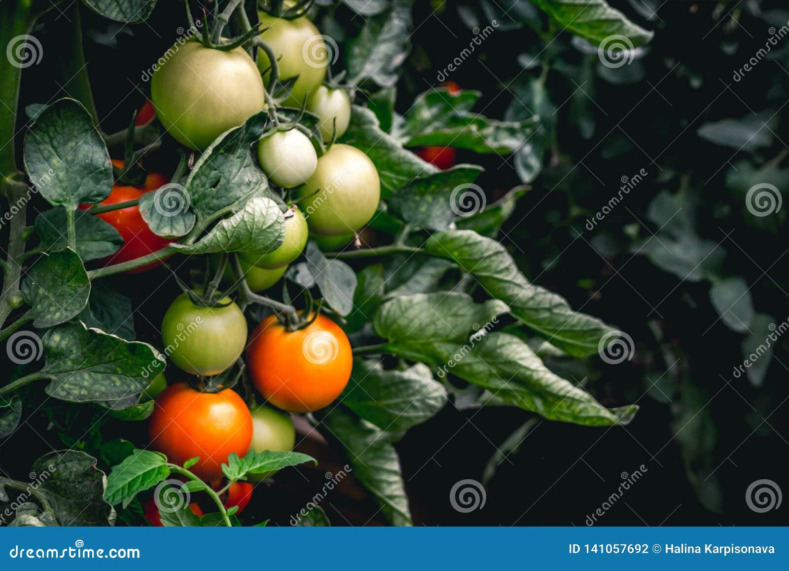 Rewolucjonistki i zieleni pomidory r na roślinie