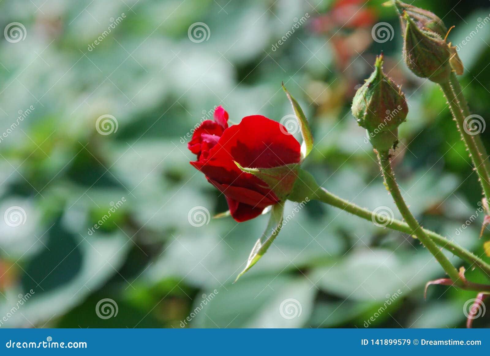 Rewolucjonistki róża prawie zamknięta i Kwitnący pączki