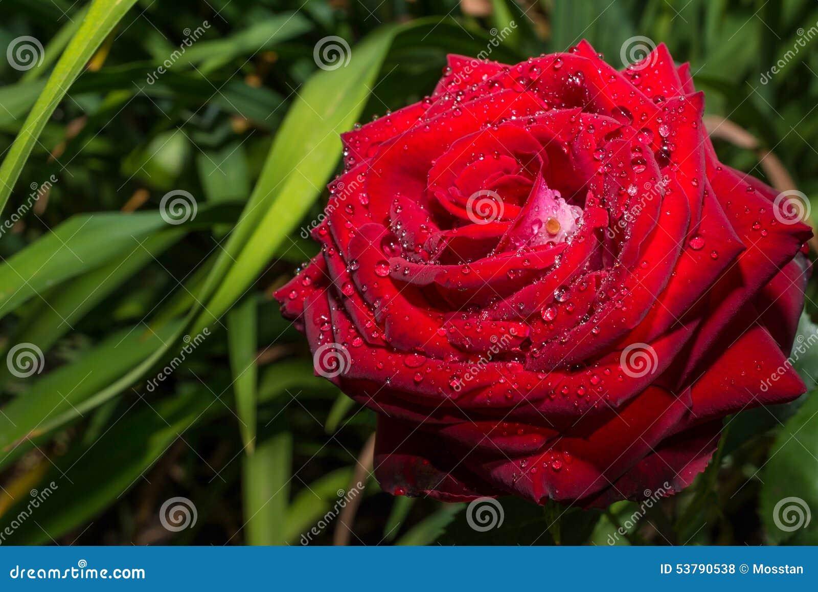 Rewolucjonistki róża w dewdrops