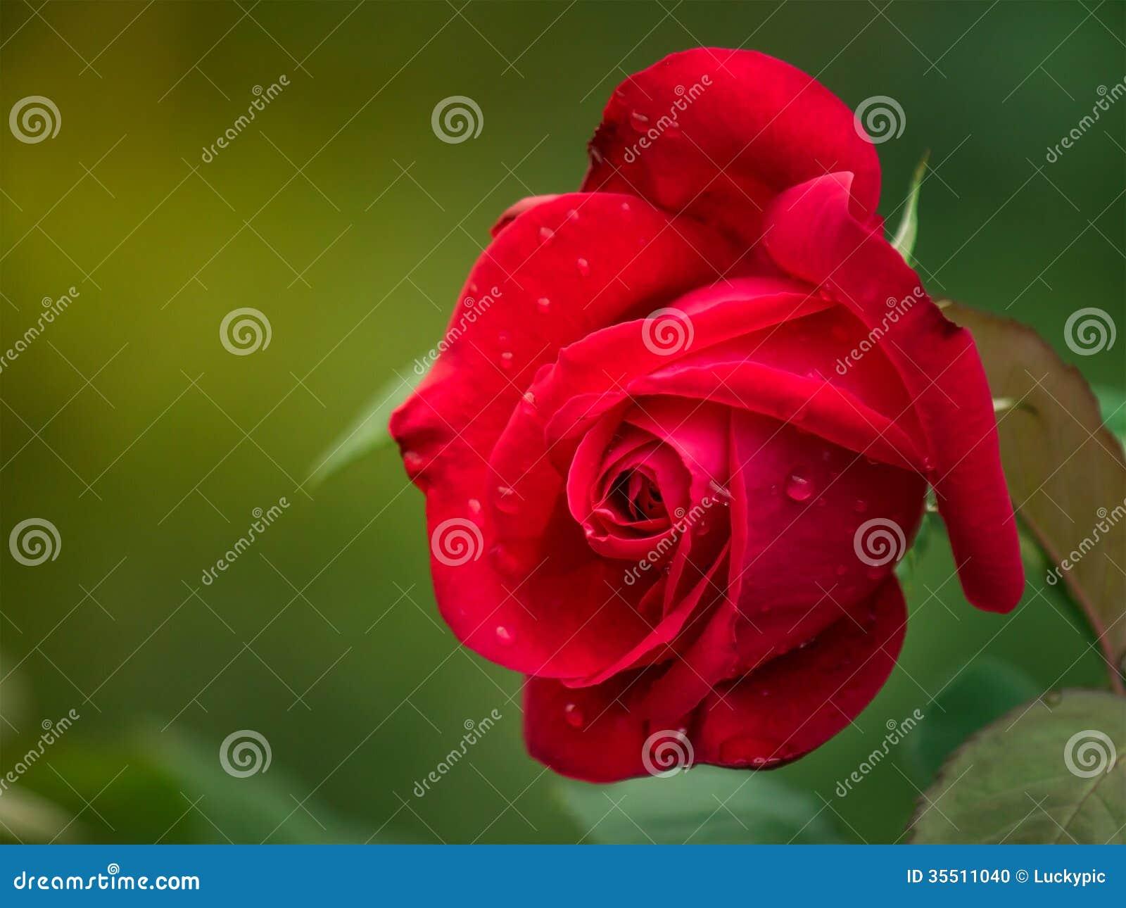 Rewolucjonistki róża w ogródzie