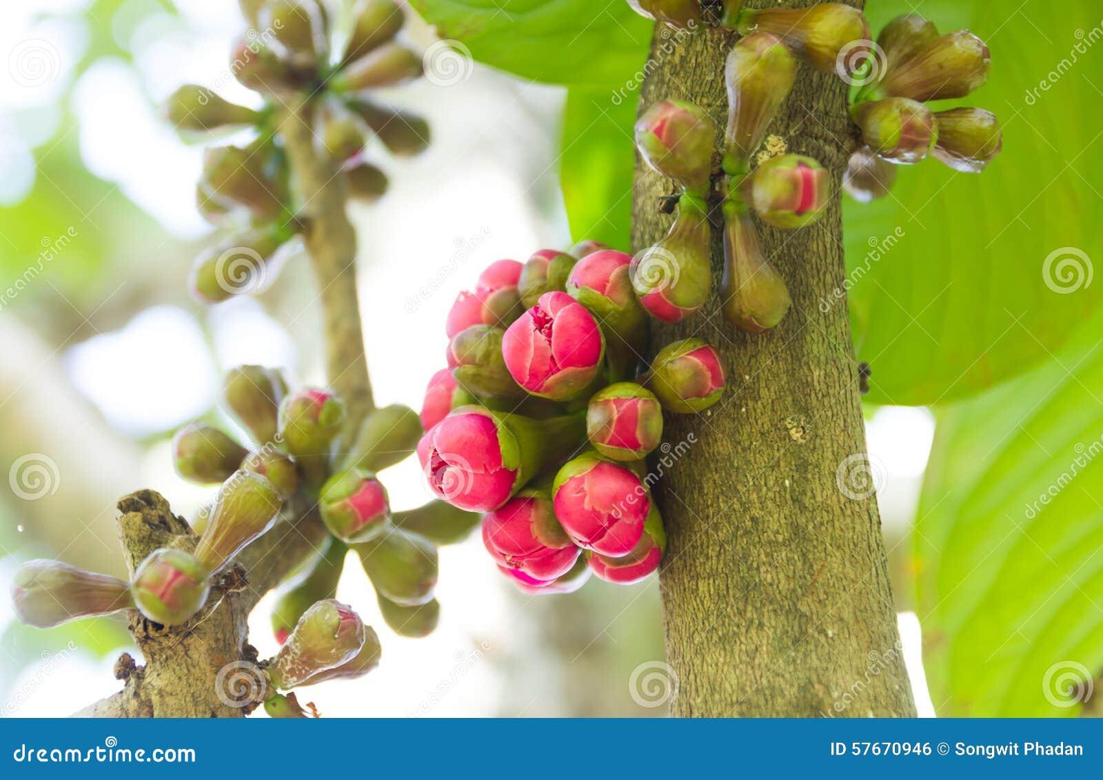 Rewolucjonistki róży jabłczany kwiat