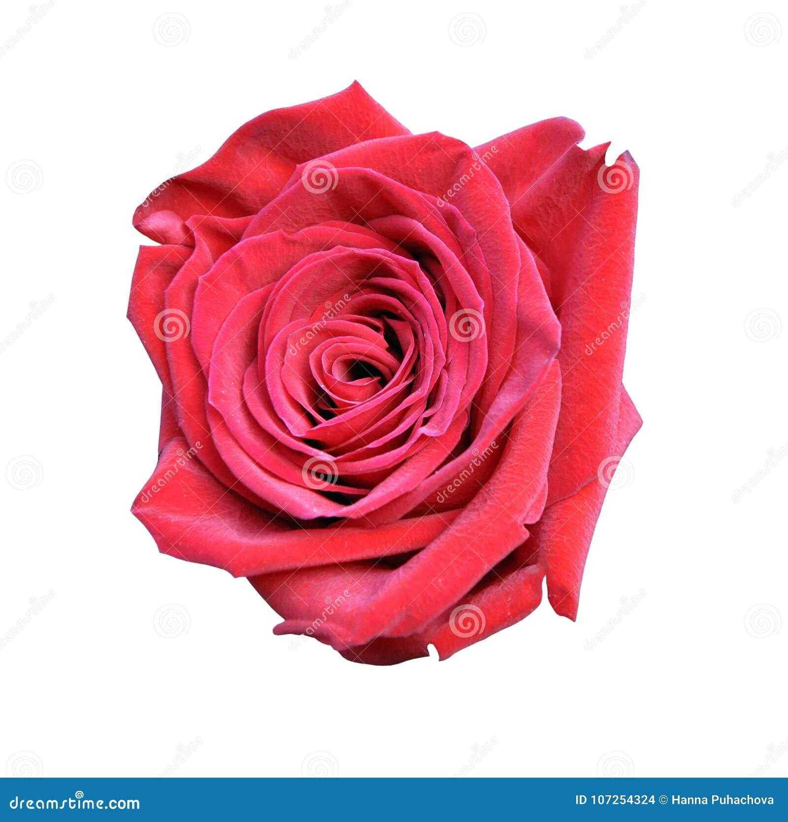Rewolucjonistki róży zakończenie odizolowywający na białym tle, wielki kwiat