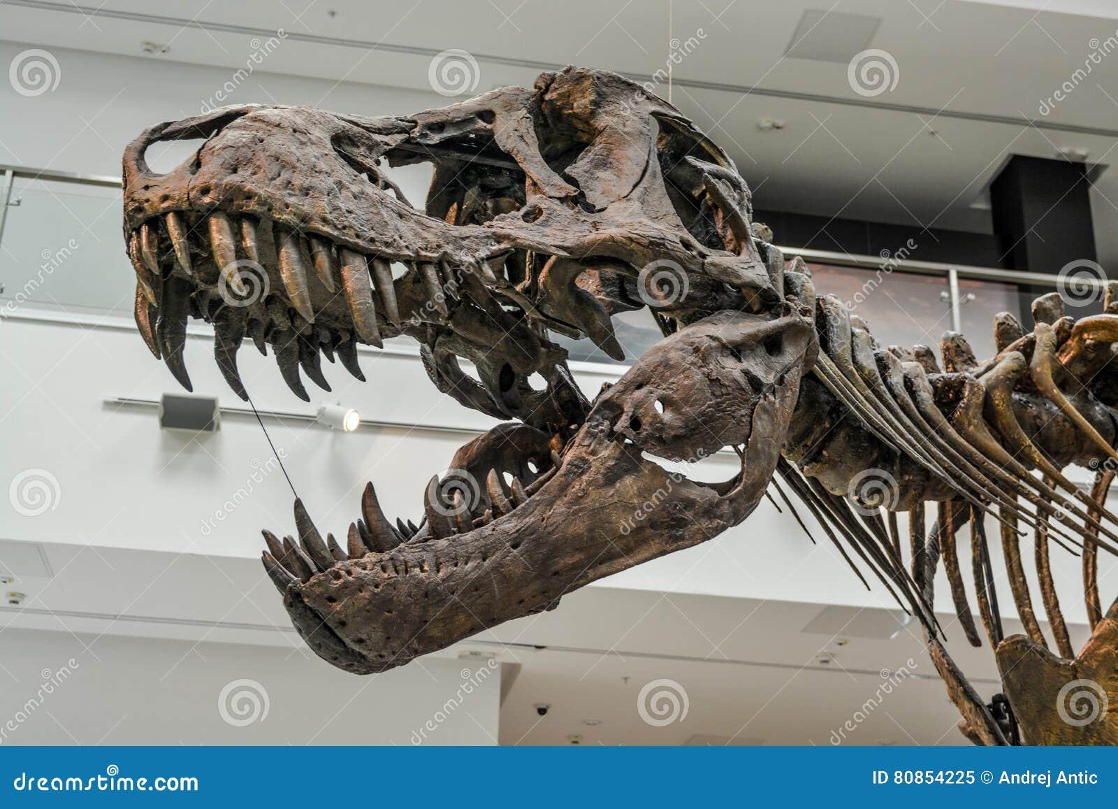 Rex σκελετός τ