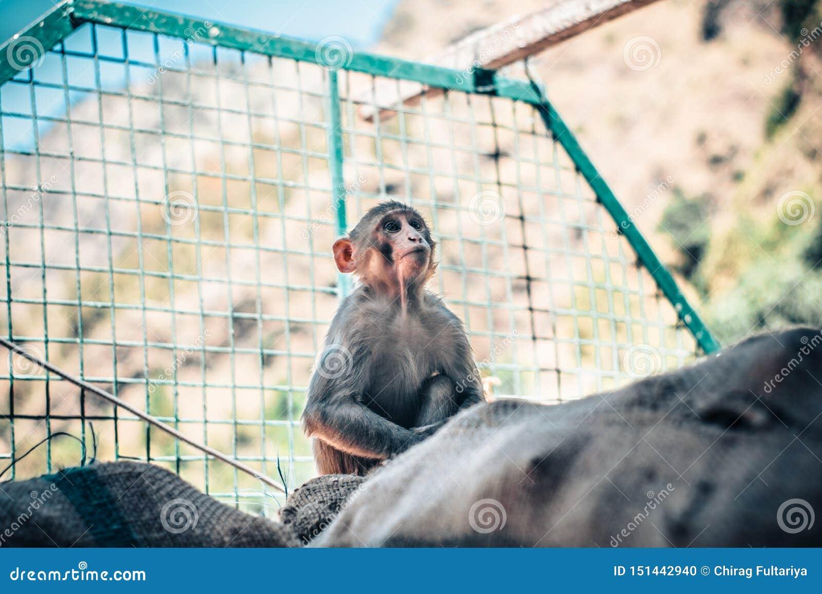 Rey joven y enfocado del mono