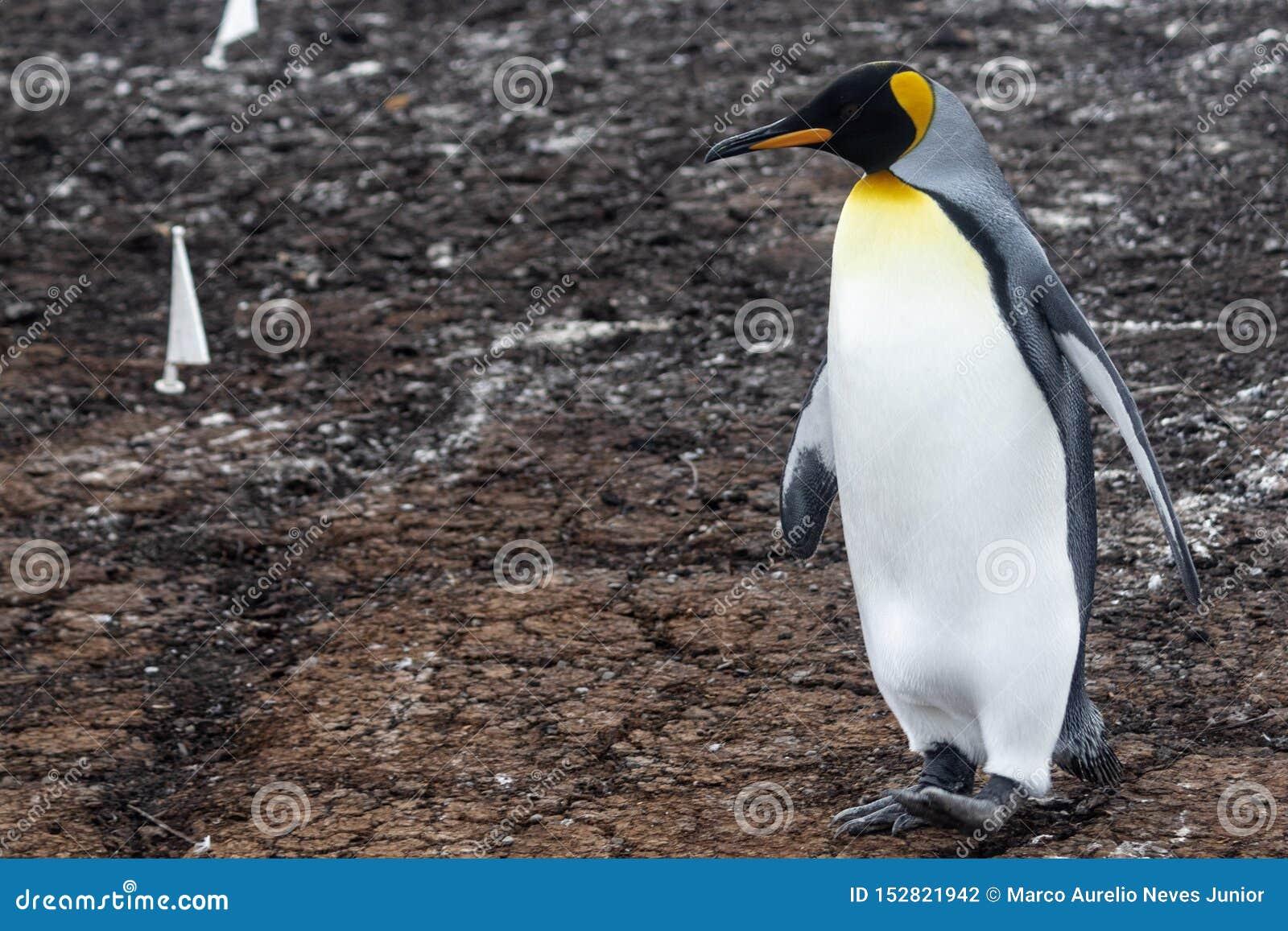 Rey Penguin, Falkland Island, Suramérica