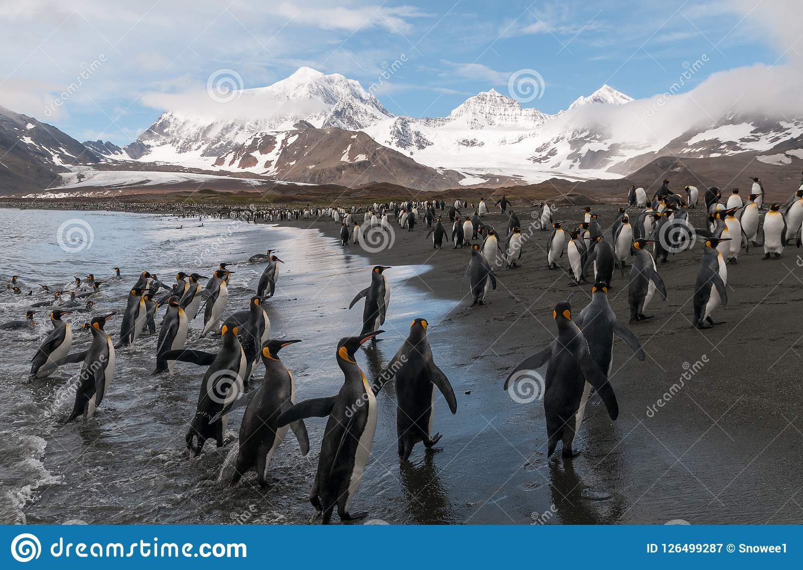 Rey Penguins en la playa, St Andrews Bay, Georgia del sur