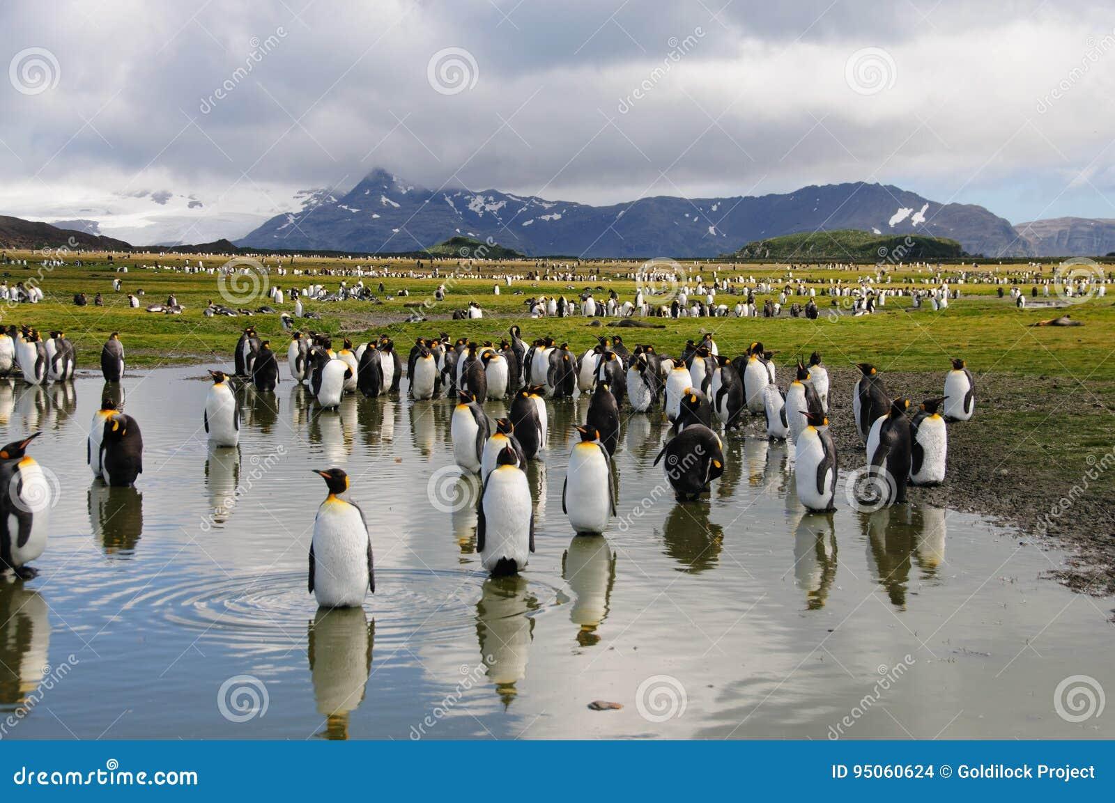 Rey Penguins en los llanos de Salisbury